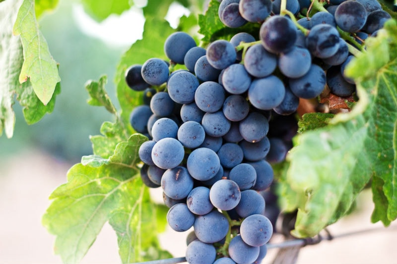 Grapes Resveratrol natural skincare